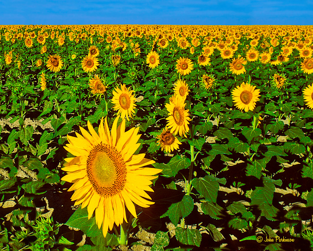 Sunflowers in Kansas