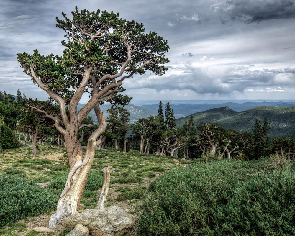 Bristlecone Pine 2 Fine Art
