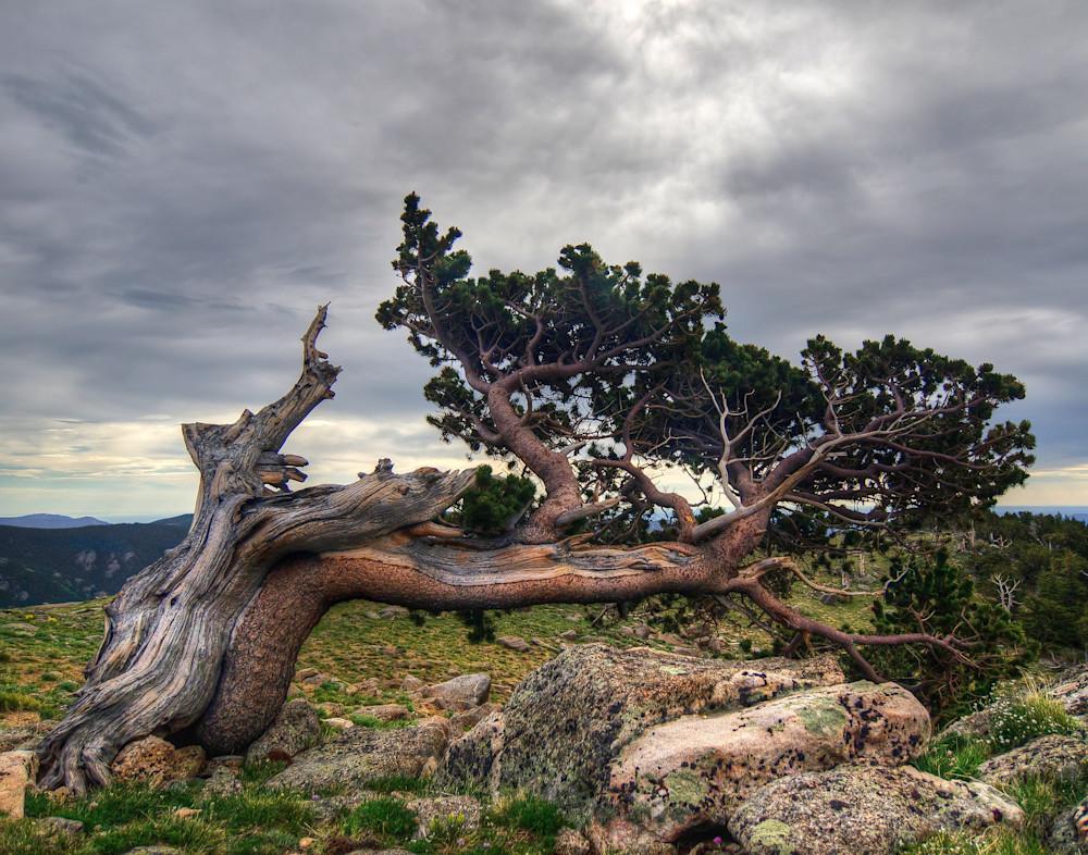 Bristlecone Pine One Fine Art Photography