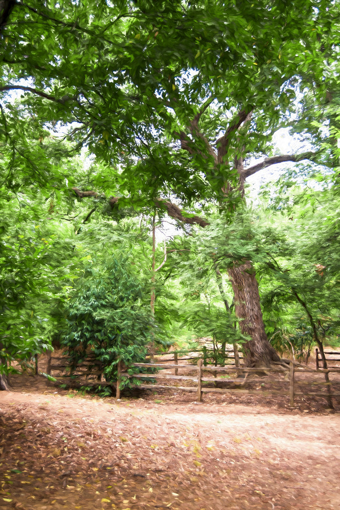 Grapevine Texas Botanic Garden photograph of Oldest Tree