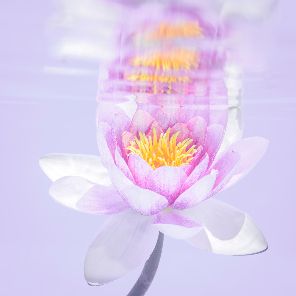 Purple Water Lily Reflecting