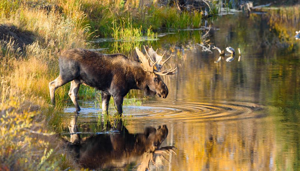1810 Autum Reflection Moose