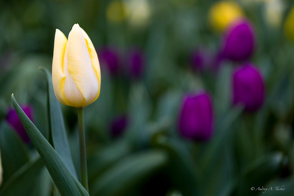 Tulip Colors Fine Art Photograph