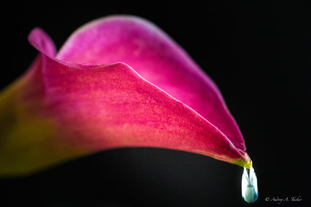 Dew Drop Calla Lily Fine Art Photograph
