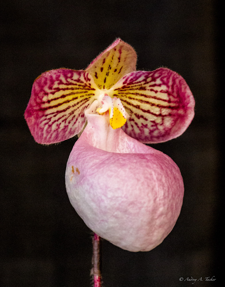 Lady's Slipper Orchid Pink Fine Art Photograph