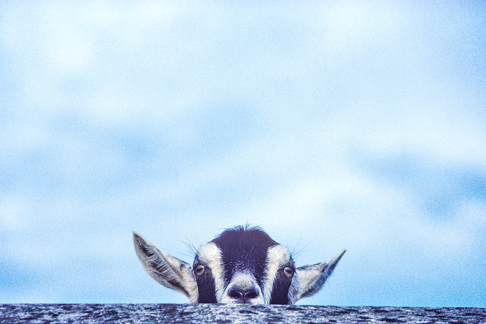 Artful Adorablel Goat Prints