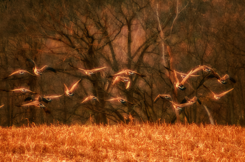 Geese taking off from cornfield at dusk
