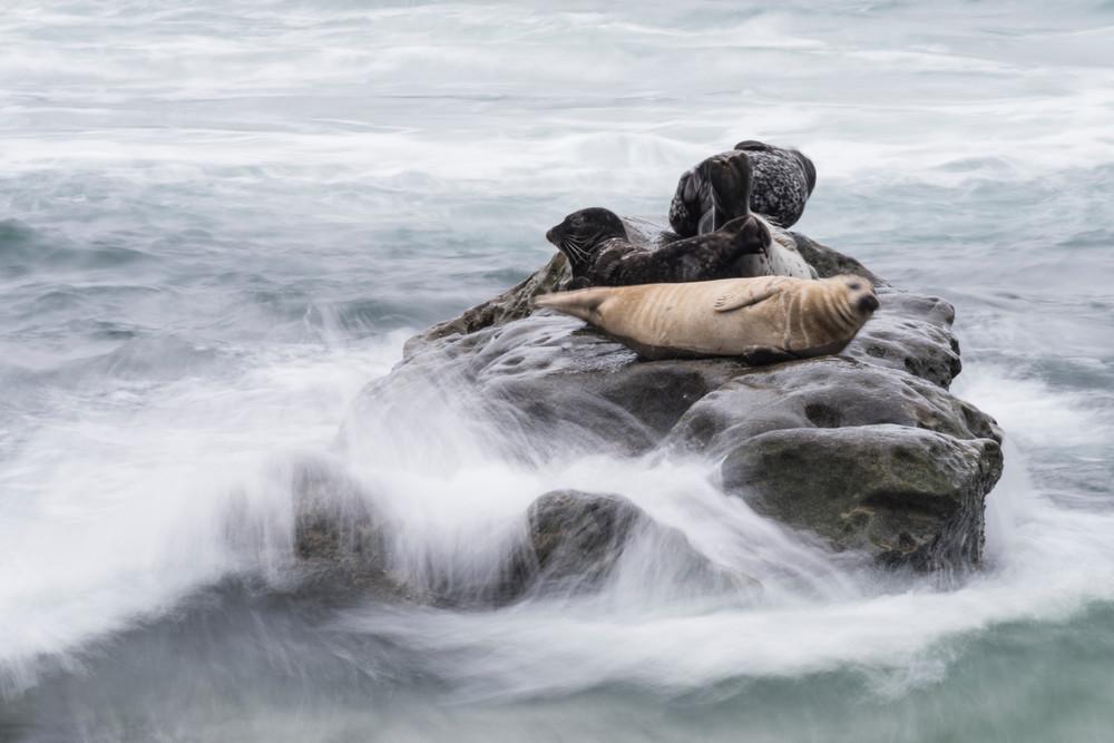 Harbor Seals, Rock & Waves, La Jolla, California