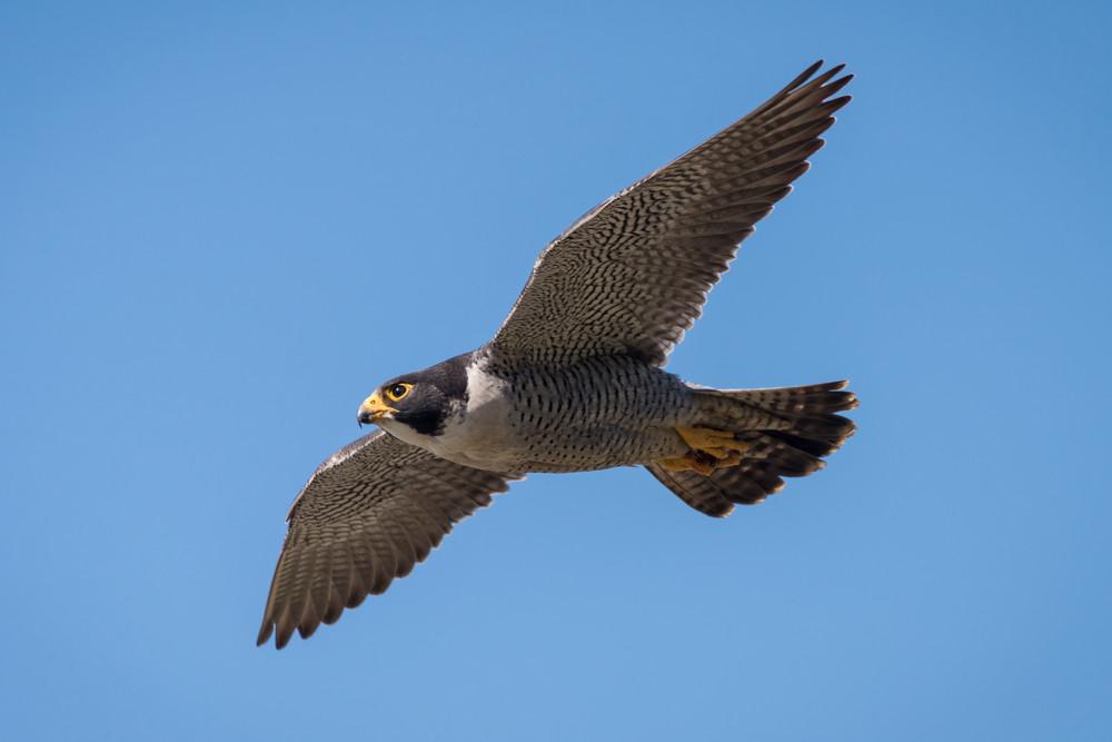 Peregrine Falcon in Flight, La Jolla, California