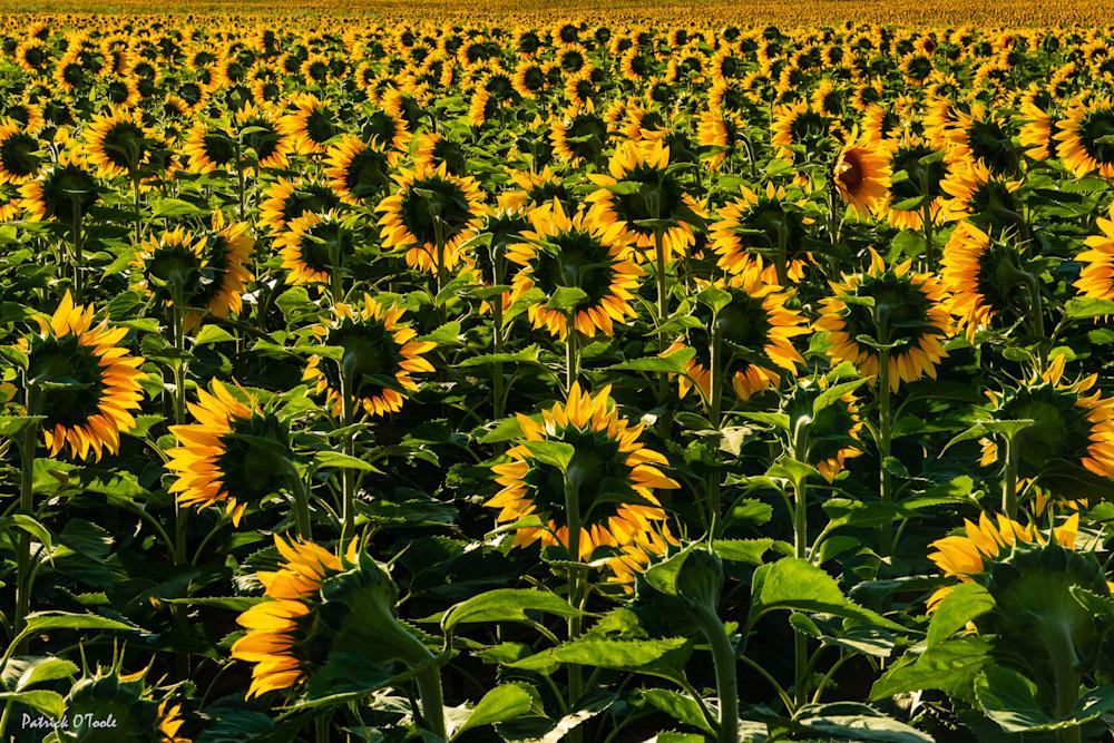Sunflowers Photography Art | Patrick O'Toole Photography, LLC