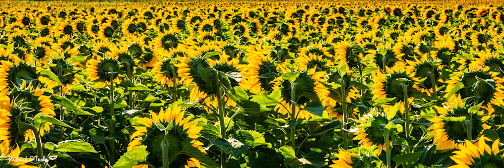 Sunflowers Photography Art | Patrick O'Toole Photography, LLC