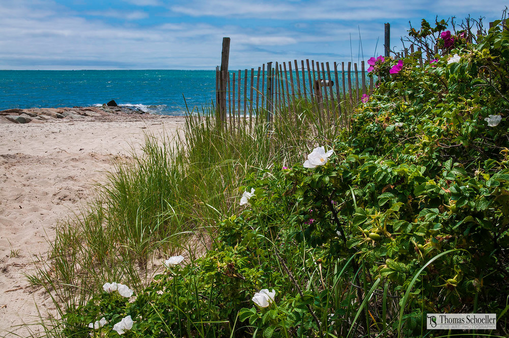 Sand Dune fencing and wild beach rose blooms/Cape Cod Fine Art photography prints