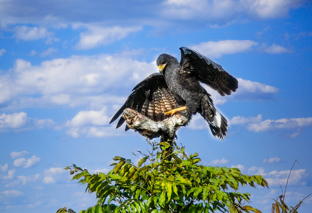 Majestic Bird   Hawk Photography Art | Peter J Schnabel Photography LLC