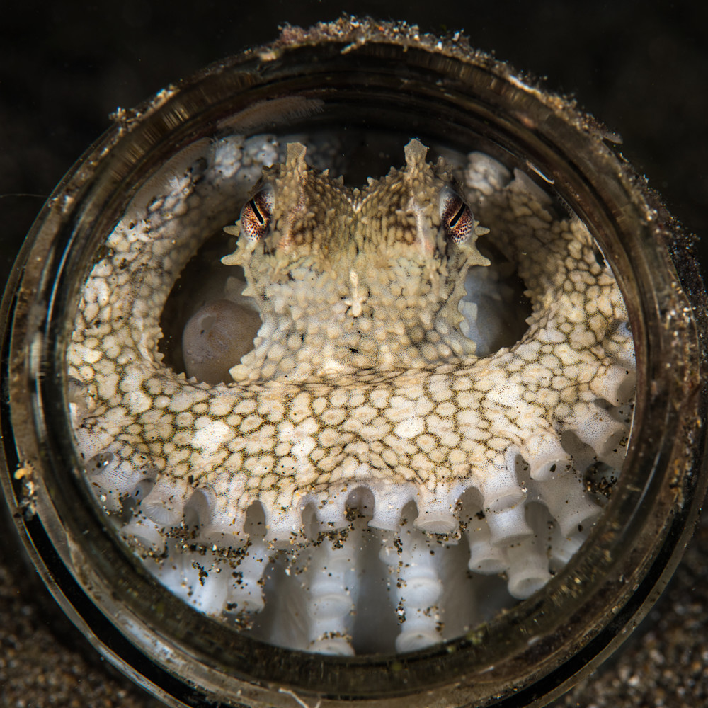 A coconut octopus hides inside the mouth of a jar and is available as a fine art print for sale