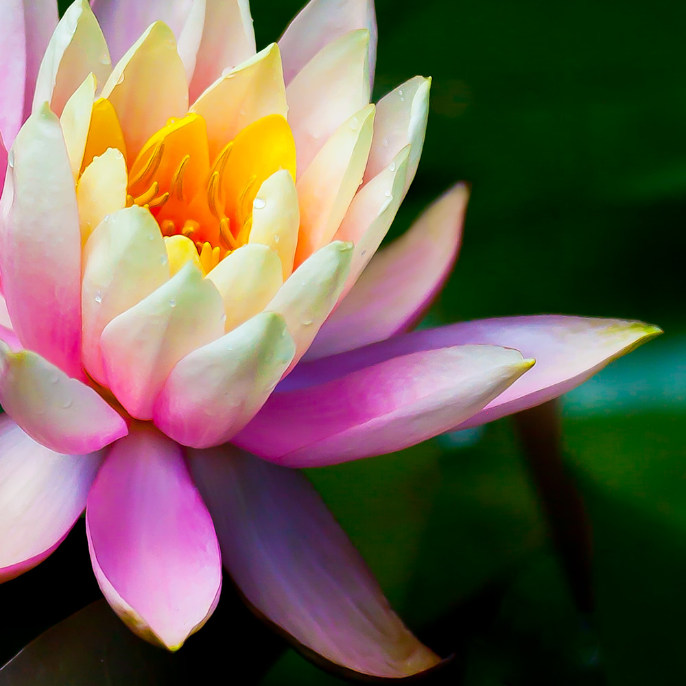Water Lilly Photography Art | Vincent DiLeo Fine Art Photography