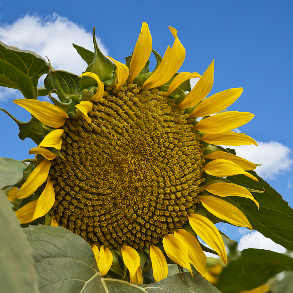 Sunflower 1 Photography Art | Vincent DiLeo Fine Art Photography