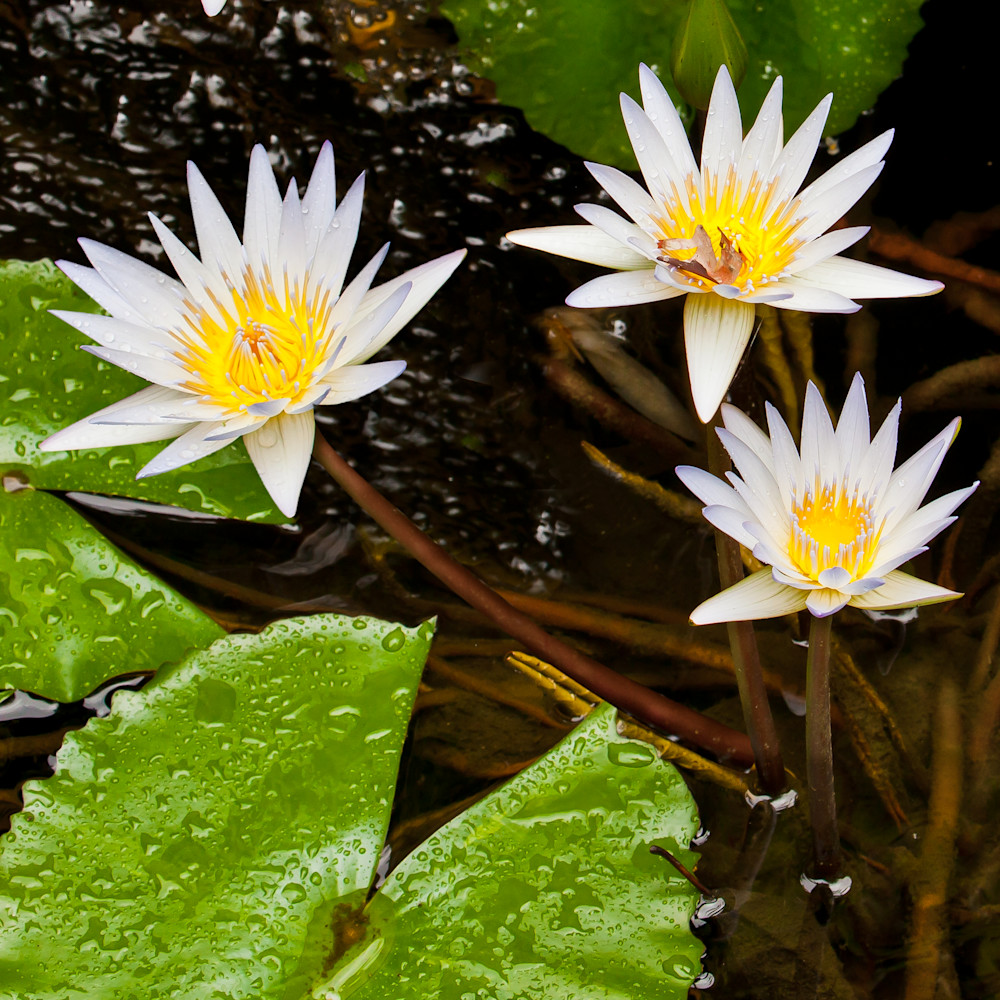 Water Lillies 2 Photography Art | Vincent DiLeo Fine Art Photography