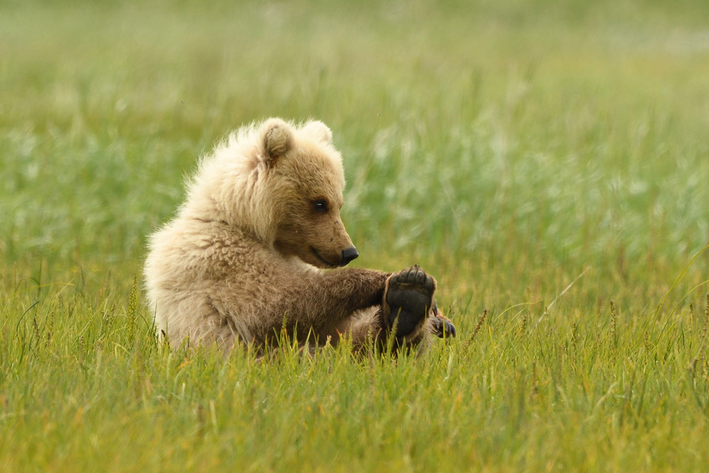 Found My Toes - Bear Cub - Katmai Alaskan Photographs - Alaska Brown Bears - Fine Art Prints on Metal, Canvas, Paper & More By Kevin Odette Photography