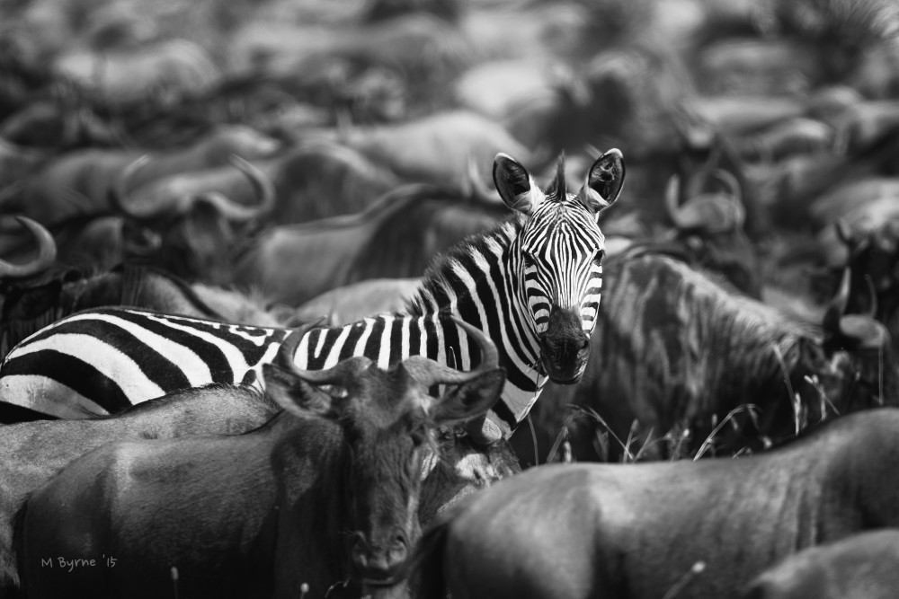 An attentive zebra within a herd of wildebeest.