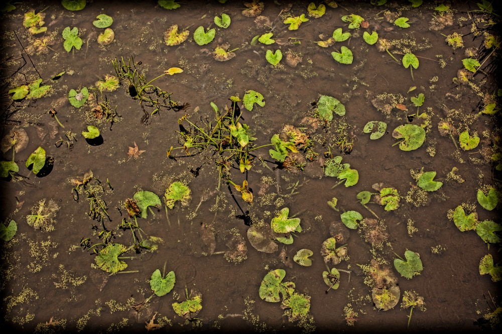 Lily Pads, No Water Photography Art | David Frank Photography