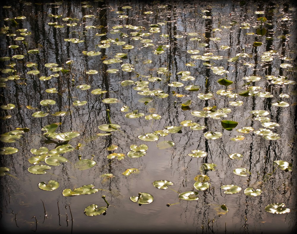 Lily Pads #4