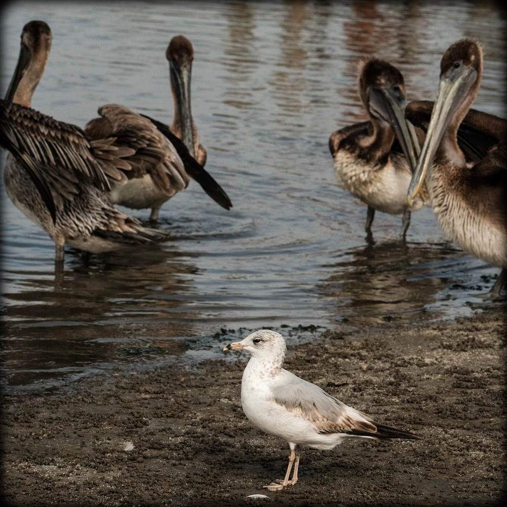 Pelicans and a Gull
