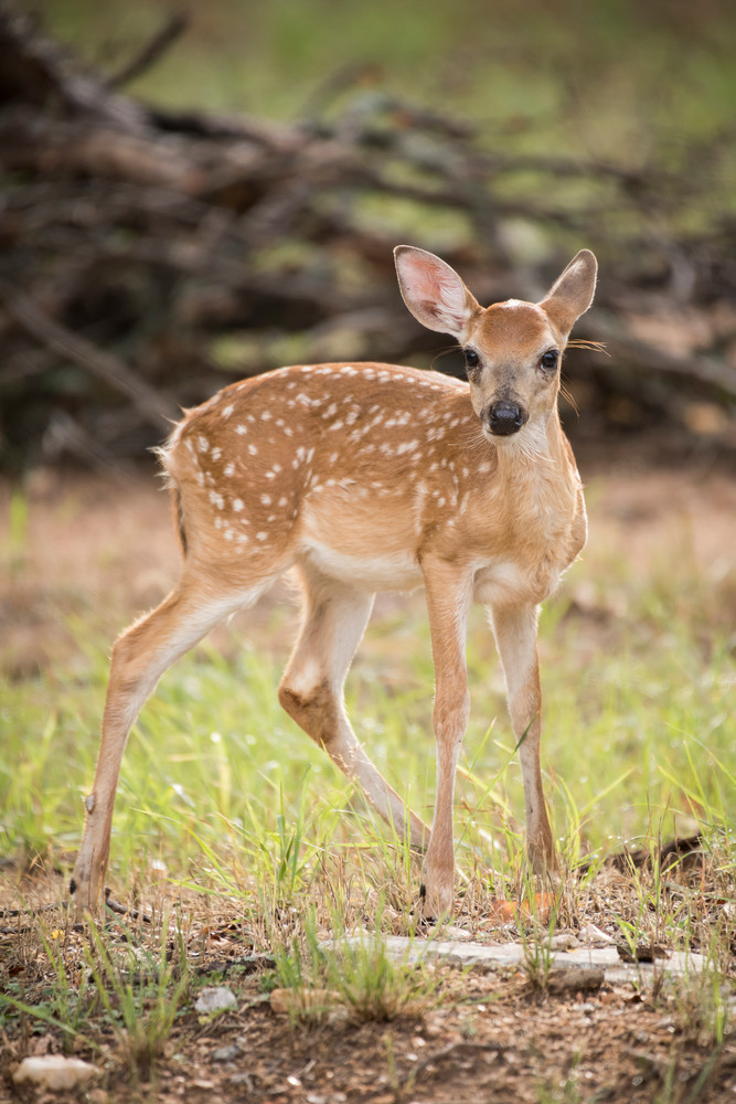 White-tailed Deer Fawn Standing, Horseshoe Bay, Texas
