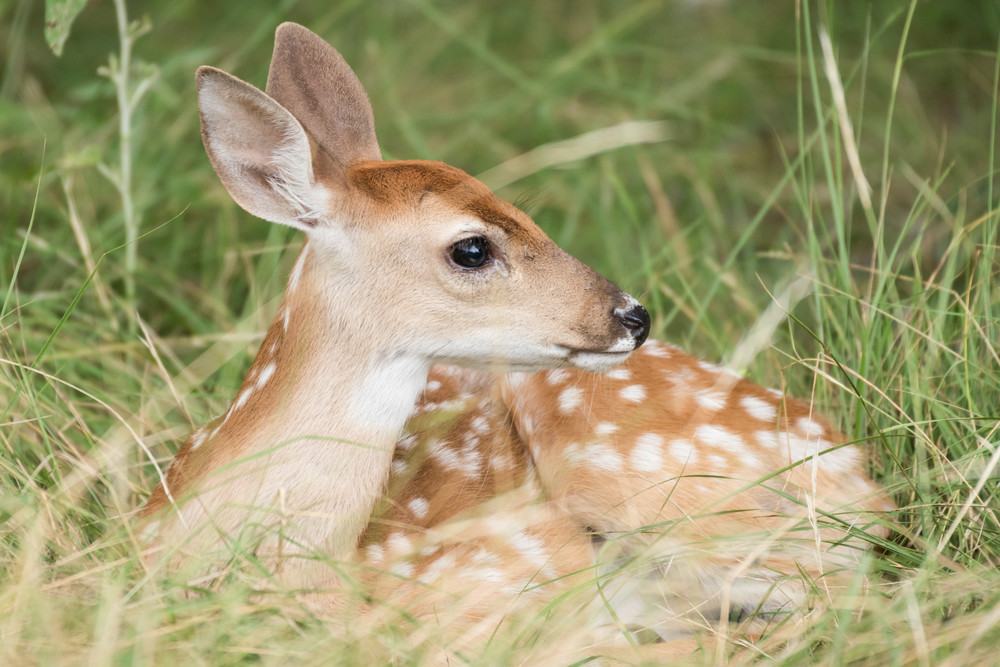 White-tailed Deer Fawn, Horseshoe Bay, Texas