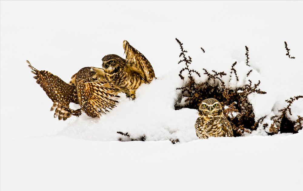 Snow Dance Burrowing Owls Archival Prints