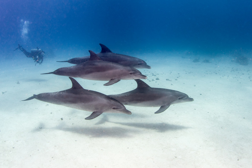 A pod of dolphins swimming by a diver available as a fine art photograph for sale.