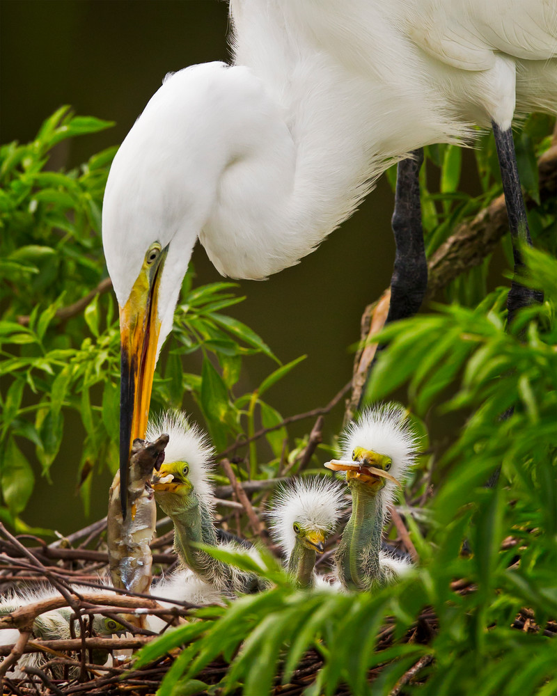 Award Winning Fine Art Baby Egret Wildlife Archival Prints