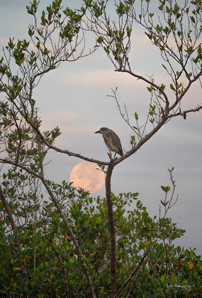 Full Moon of the Night Heron Fine Art Photography