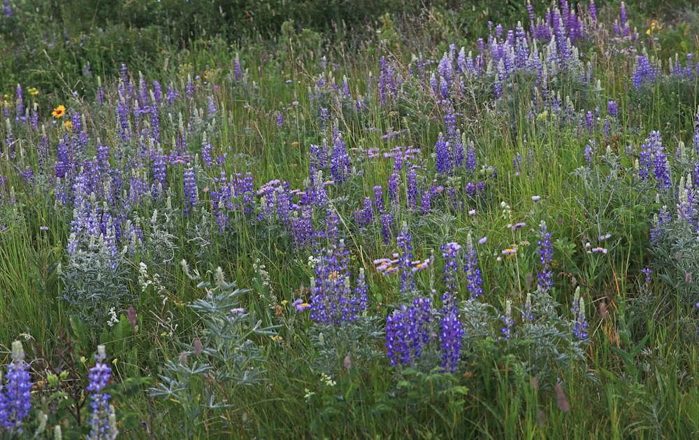Lupine Wild Flowers