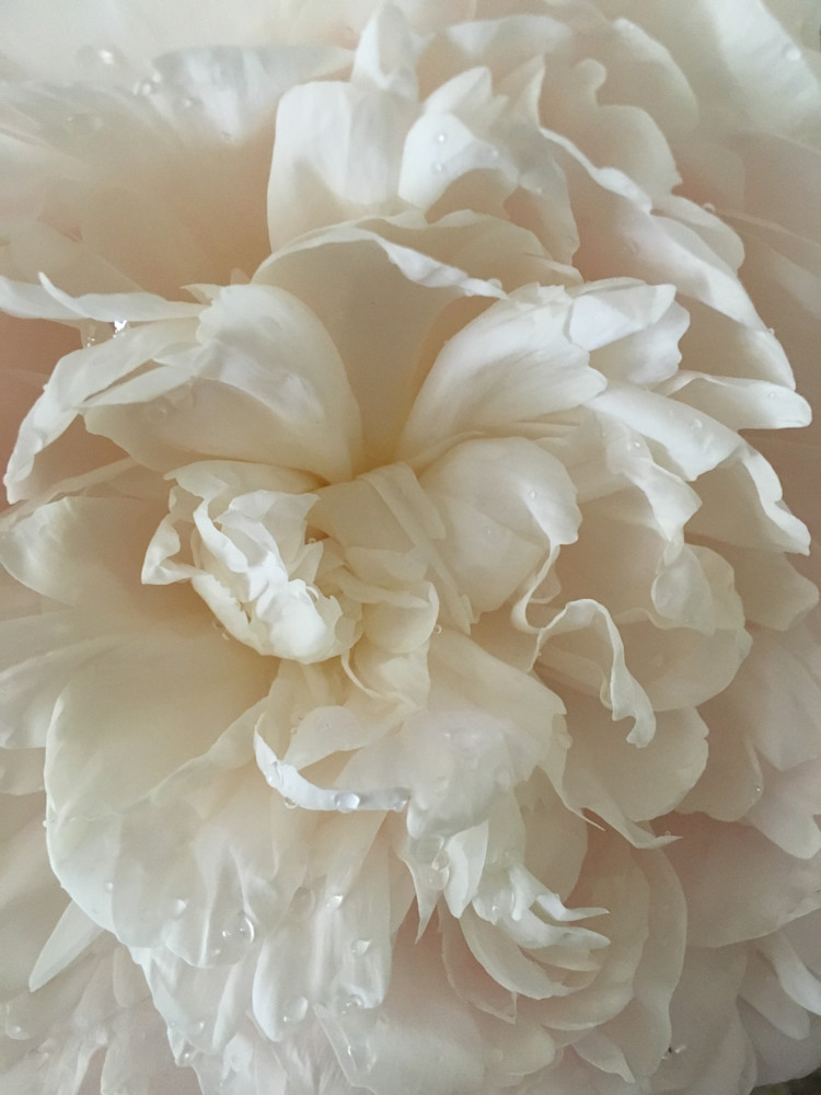 White Peonies:  Lace
