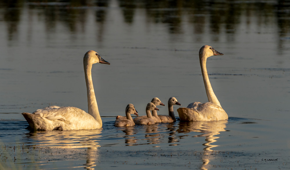 Trumpeter Swan Family (2000)