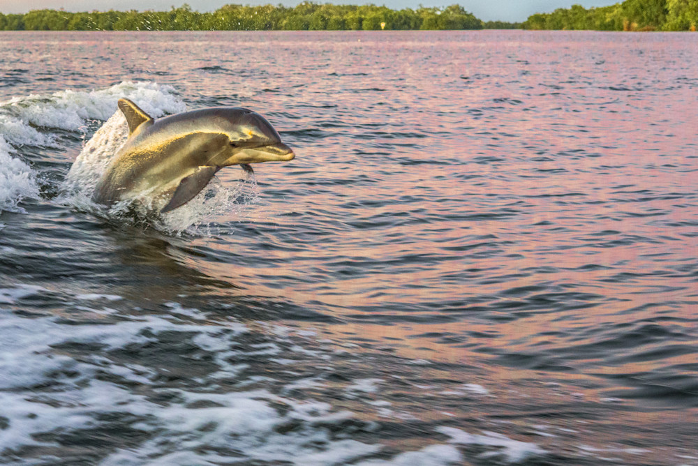 Sunset Reflection Dolphin