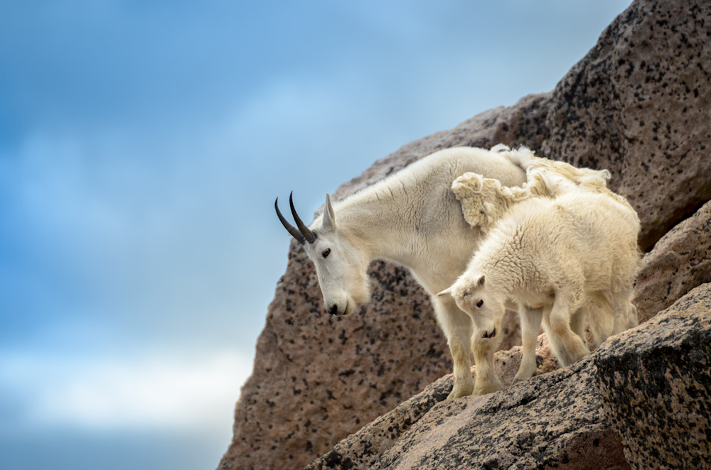 Mountain Goat Country