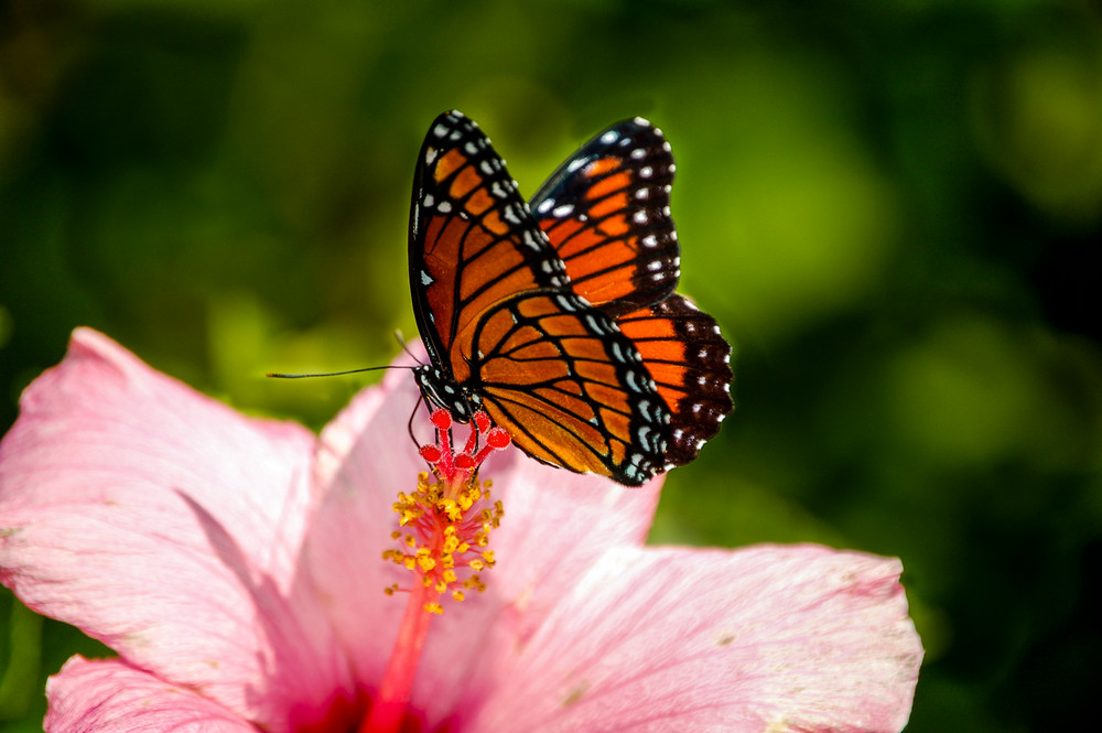 Monarch on a Hibiscus