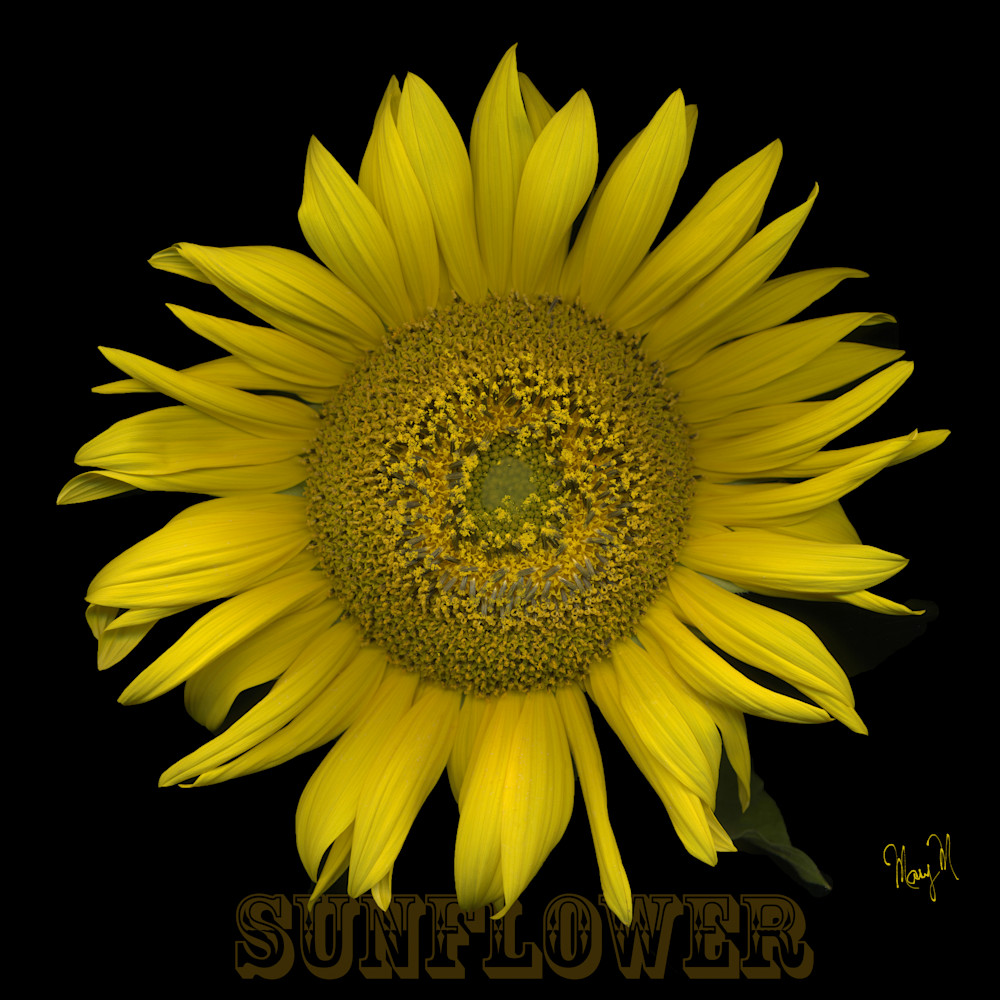 Flowers  Sunflower Art | FortMort Fine Art