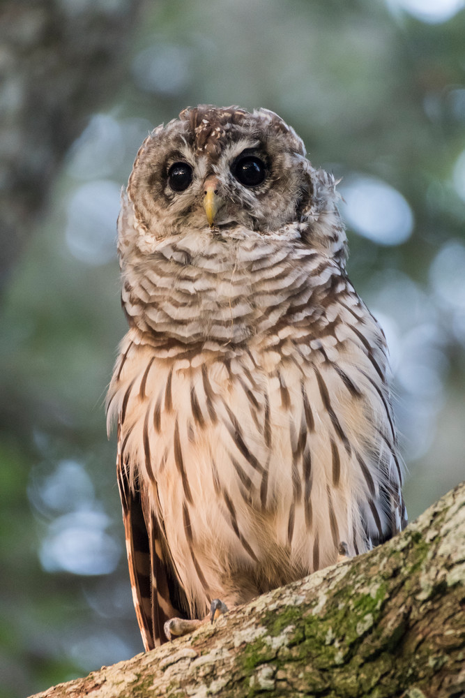 Barred Owl Owlet, Damon Texas