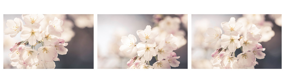 Cherry Blossom Tryptic Photography Art | Sandy Adams Outdoorvizions Photography