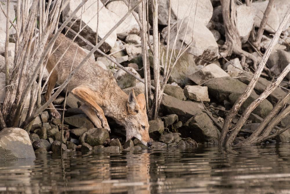 Coyote Fishing, Lake Hodges, California