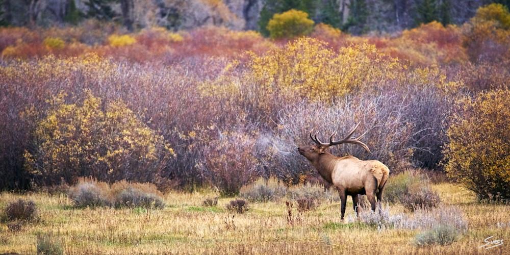 Early Morning Bull Elk Bugle - Grand Tetons