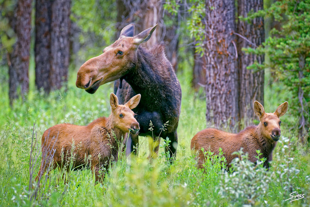 Moose and Her Two Calves - Grand Tetons