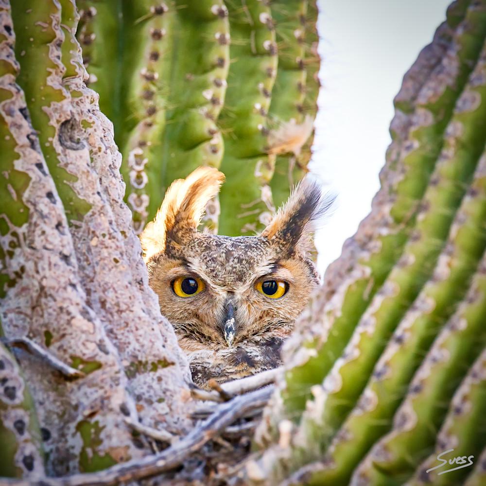 Female Great Horned Owl on Nest - Arizona