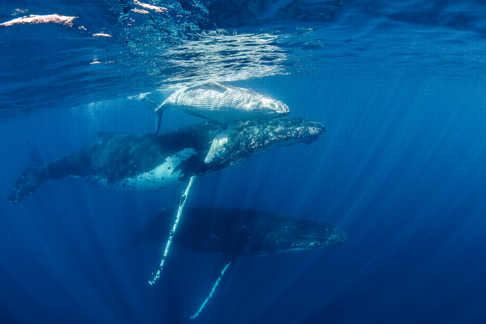 Mother Humpback whale and calf with escort available for sale as a fine art photograph.