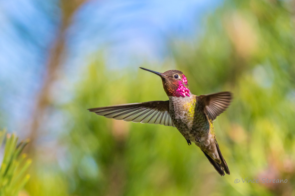 Fine art prints of a male Anna's hummingbird
