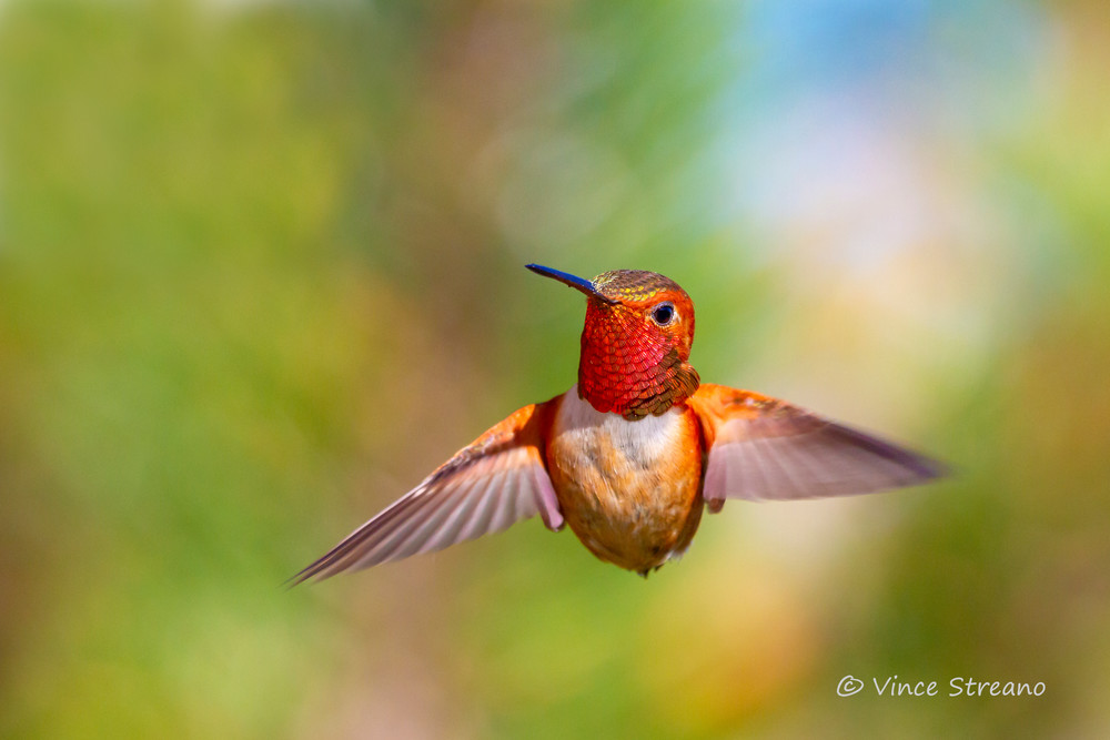 Fine art print of a male Rufous hummingbird captured mid flight.
