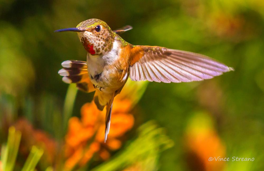 Fine art prints of a a female Rufous hummingbird.