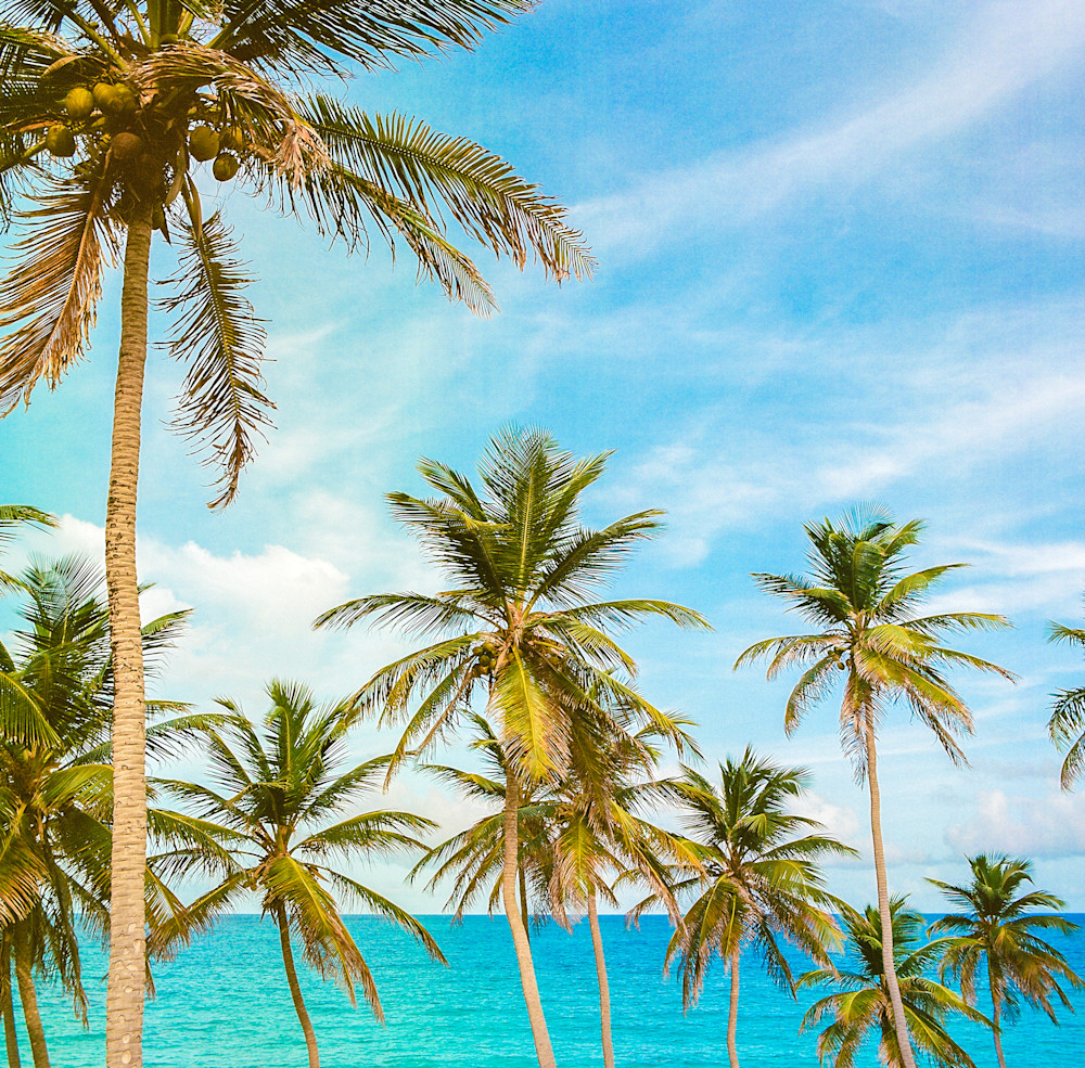 Barbados Caribbean Palms | Tropical Landscape Photography Print